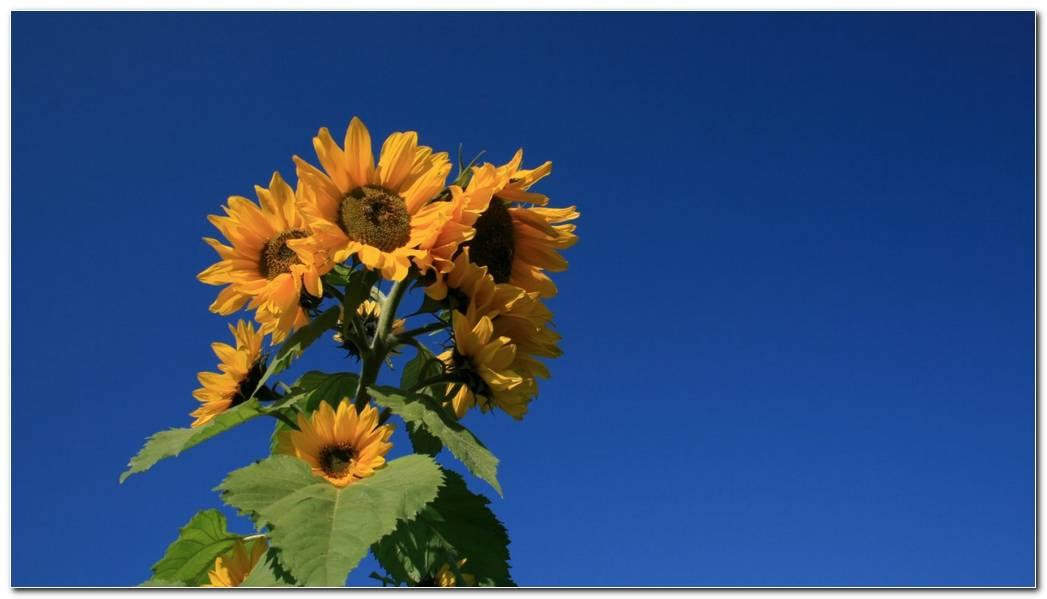 Summer Sunflower Nature Wallpaper Background