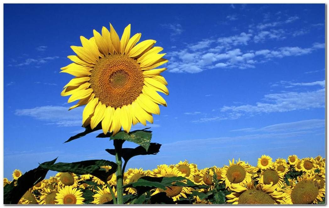 Summer Sunflower Nature Wallpaper Image Background