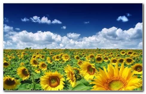 Summer Sunflowers HD Wallpaper