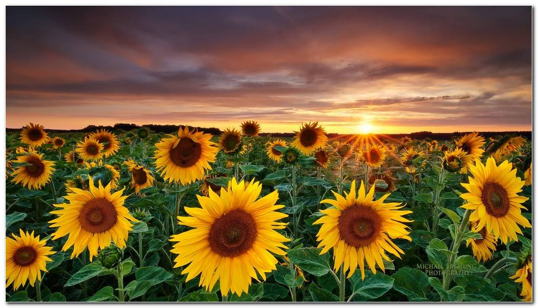 Sunflower Backgrounds HD