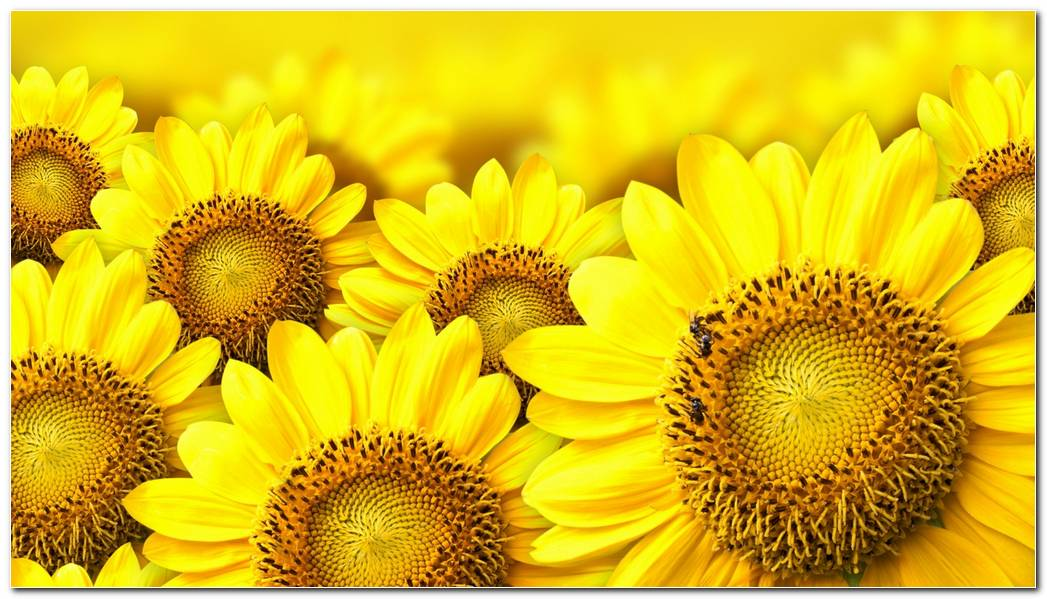 Sunflower Nature Wallpaper Background Image
