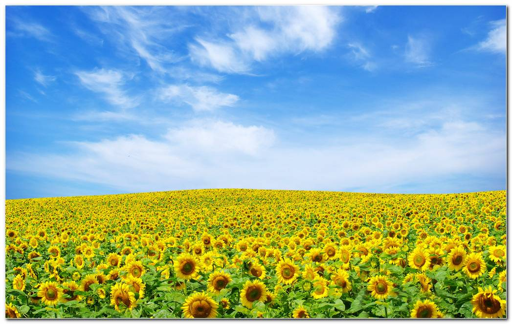 Sunflower Nature Wallpaper Background