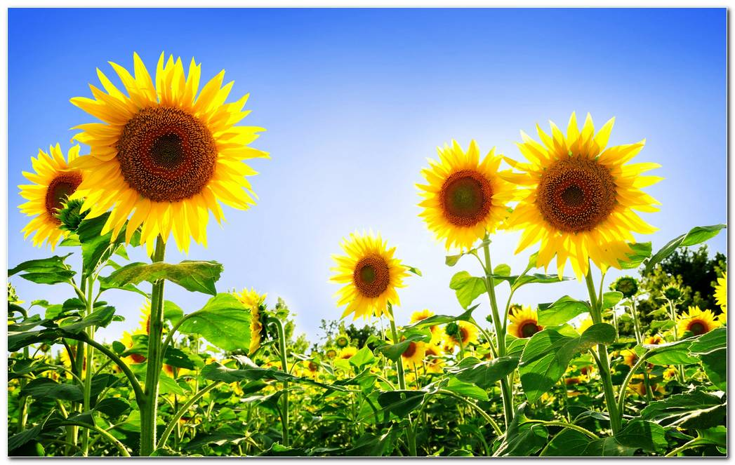 Sunflower Nature Wallpaper Desktop Background