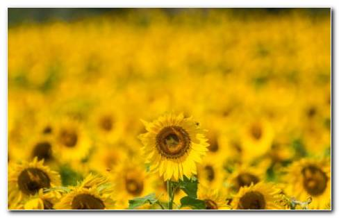 Sunflower Farm HD Wallpaper