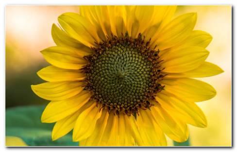 Sunflower Garden HD Wallpaper