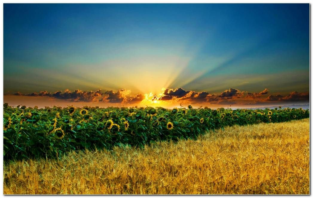 Sunset And Beautiful Sunflower Nature Wallpaper Background