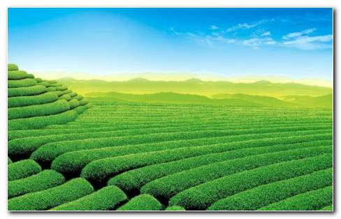 Tea Field HD Wallpaper