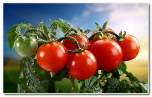Vegetables Tomatoes Tomato Wallpaper