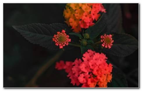 Verbenaceae Pink And Orange Flowers