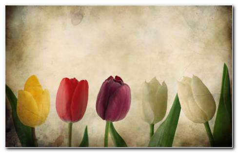 Vintage Tulips HD Wallpaper
