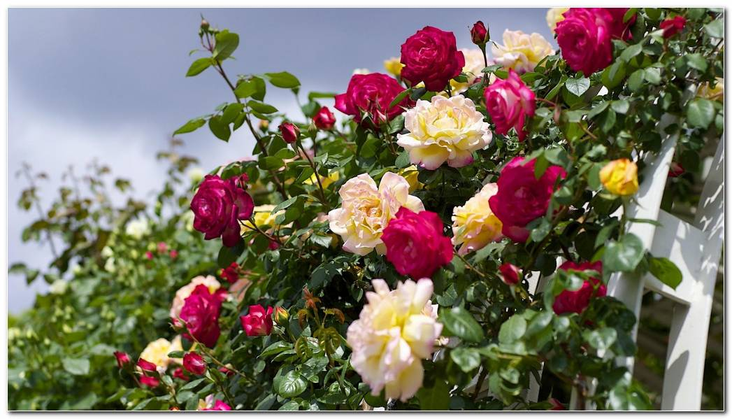 Wallpaper 1920x1080 Roses Flowering Garden Sky Beautifully Full HD 1920x1080