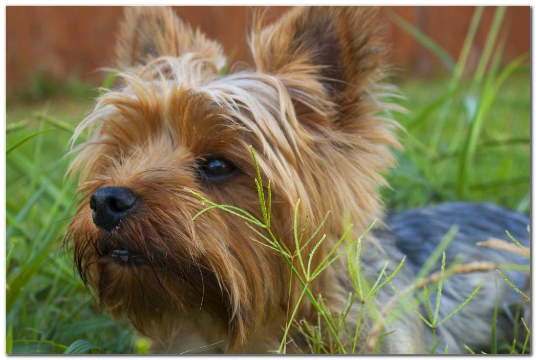 Wallpaper Dog Yorkshire Image
