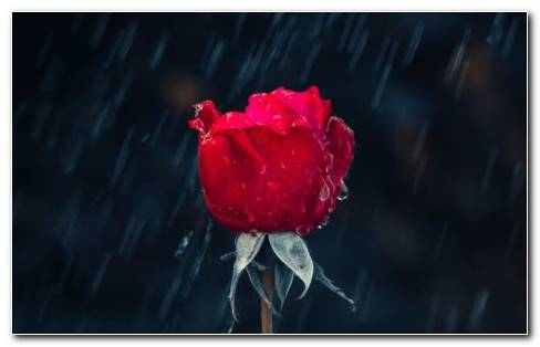 Wet Moisturize Red Rose