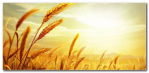 Wheat Backgrounds