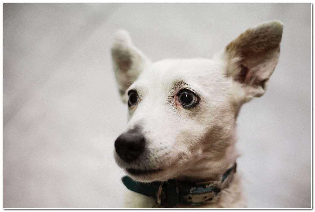 White Dog Animal Wallpaper
