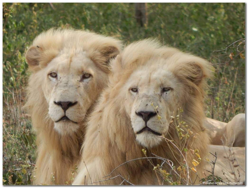 White Lion Pictures