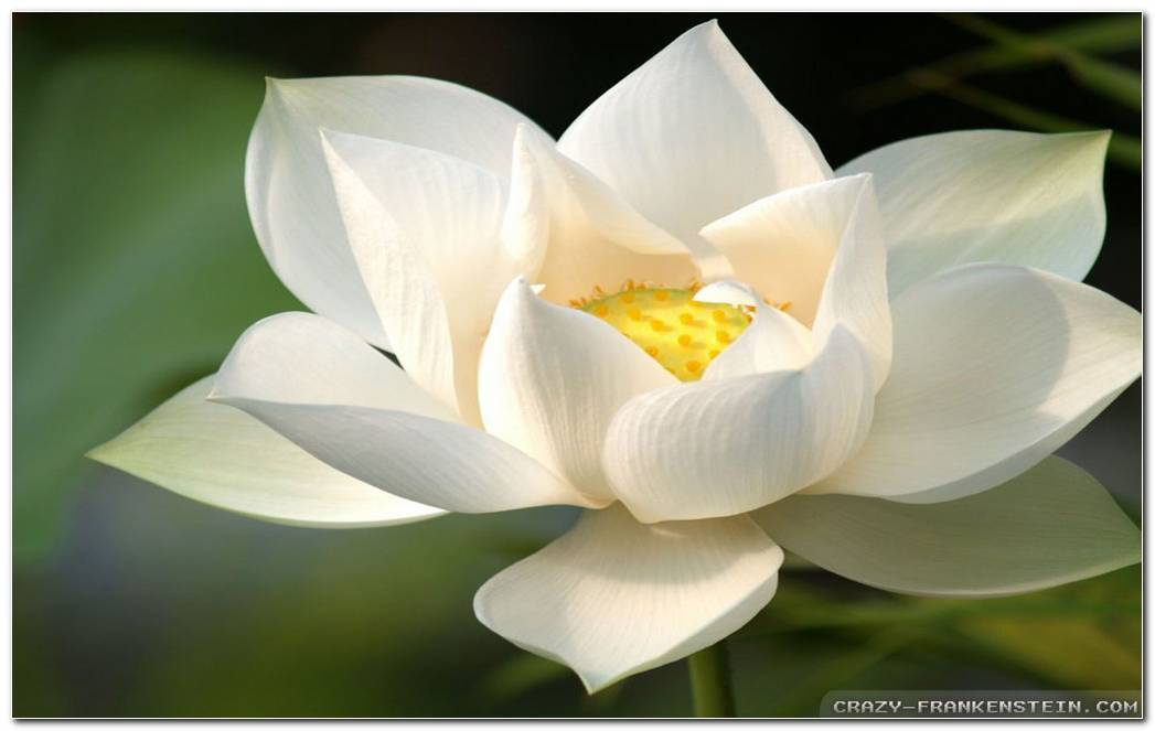 White Lotus Wallpaper