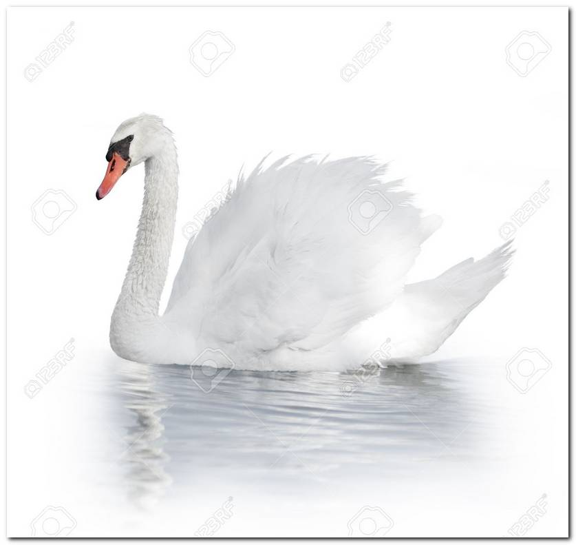 White Swan Background