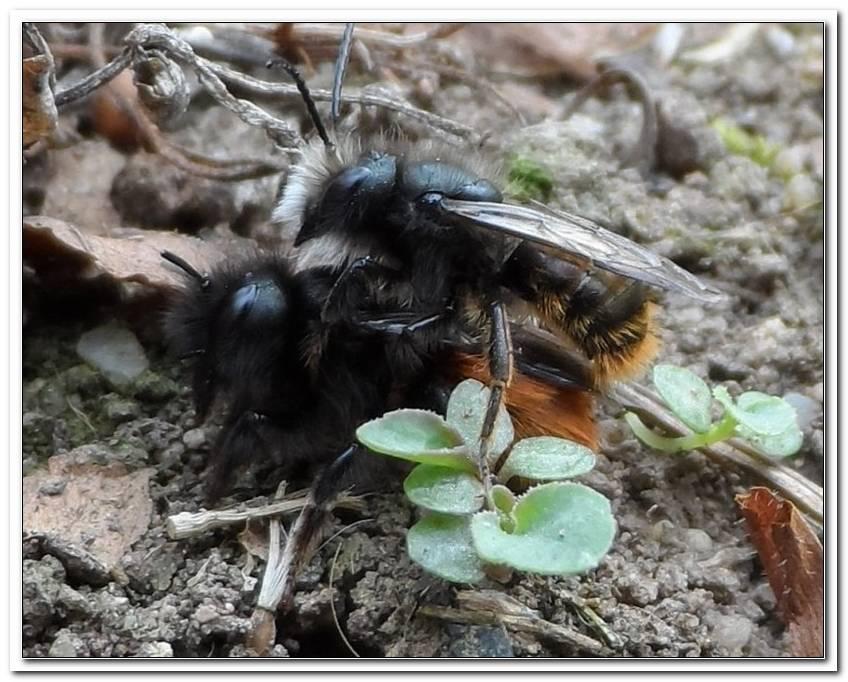 Wildbienen Im Garten Umsiedeln