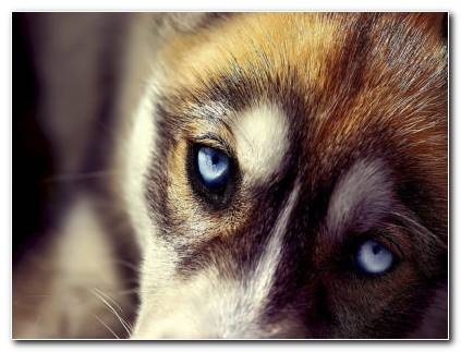 Wolf Eye HD Wallpaper
