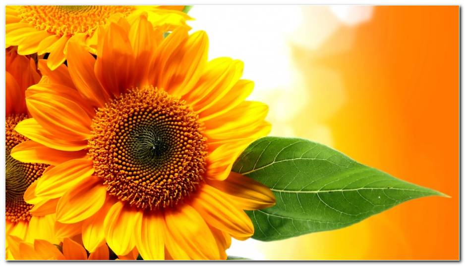 Wonderful Sunflower Nature Wallpaper Background