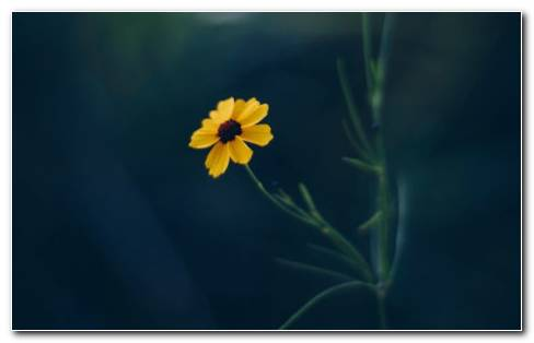 Yellow Flower Images HD Wallpaper