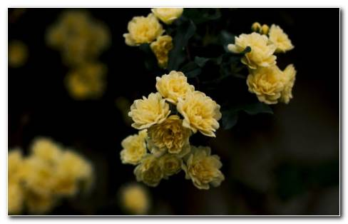 Yellow Rose Images HD Wallpaper