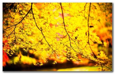 Yellow Tree HD Wallpaper