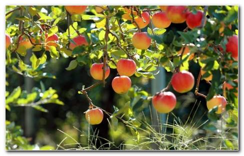 Apples Trees HD Wallpaper