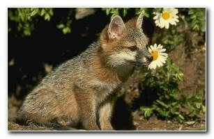 Baby Fox Wallpaper Animal Desktop 1024 X 768