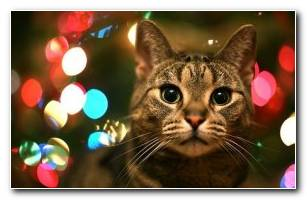 Cats Christmas HD Wallpapers