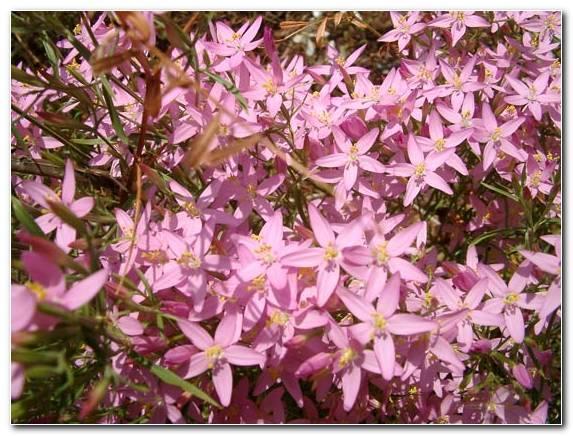 Centaurium Quadrifolium 6