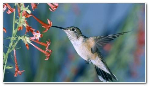 Humming Bird HD Wallpaper