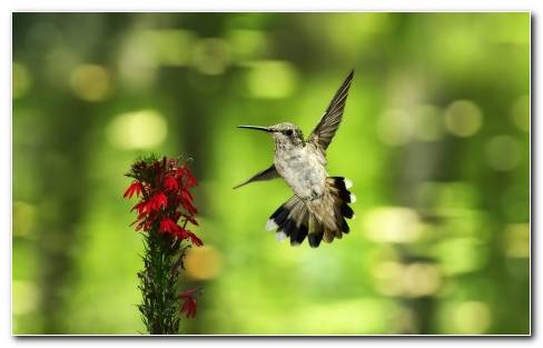 Humming Bird Near Red Rose