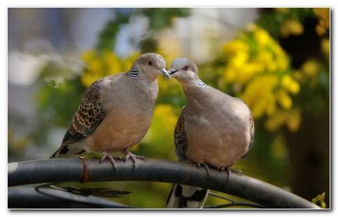 Kissing Pigeons Animal Hd Wallpaper 1920x1200 31135