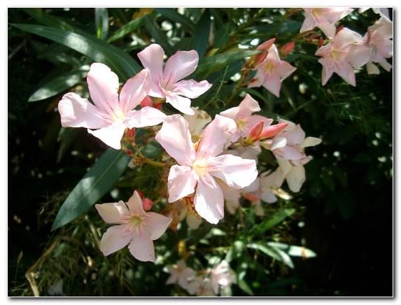 Nerium Oleander1