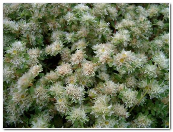 Paronychia Argenta2
