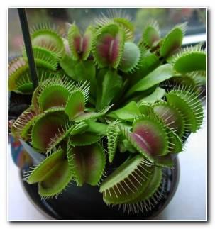 Plantas Carnivolas Venus Atrapamoscas Ideas
