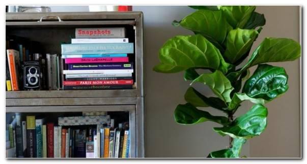 Plantas De Interior Ficus Maceta Blanca (2)