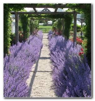 Plantas Para Jardin Pergola Camino Lavanda