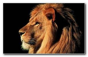 Wallpapers Animals Lion 1280