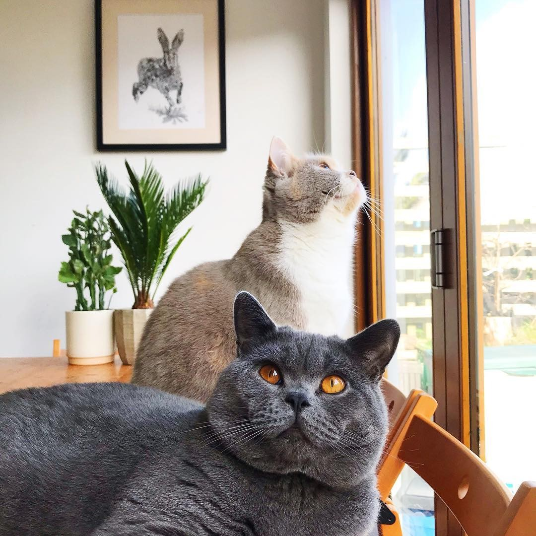 Chat British Chartreux Best Of Caracas Instagram S and Videos