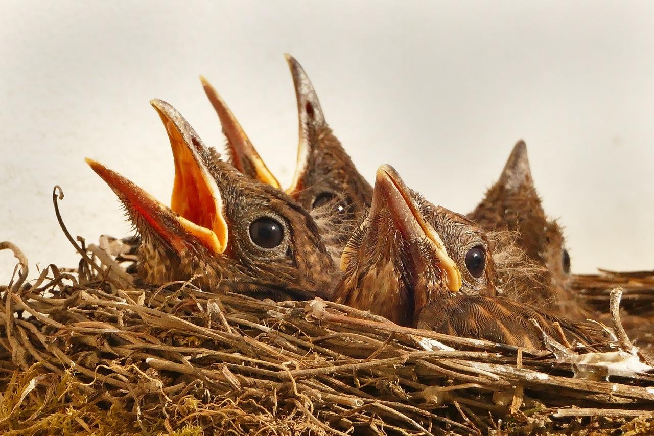 Bird chicks in a nest, Source: pixabay.com