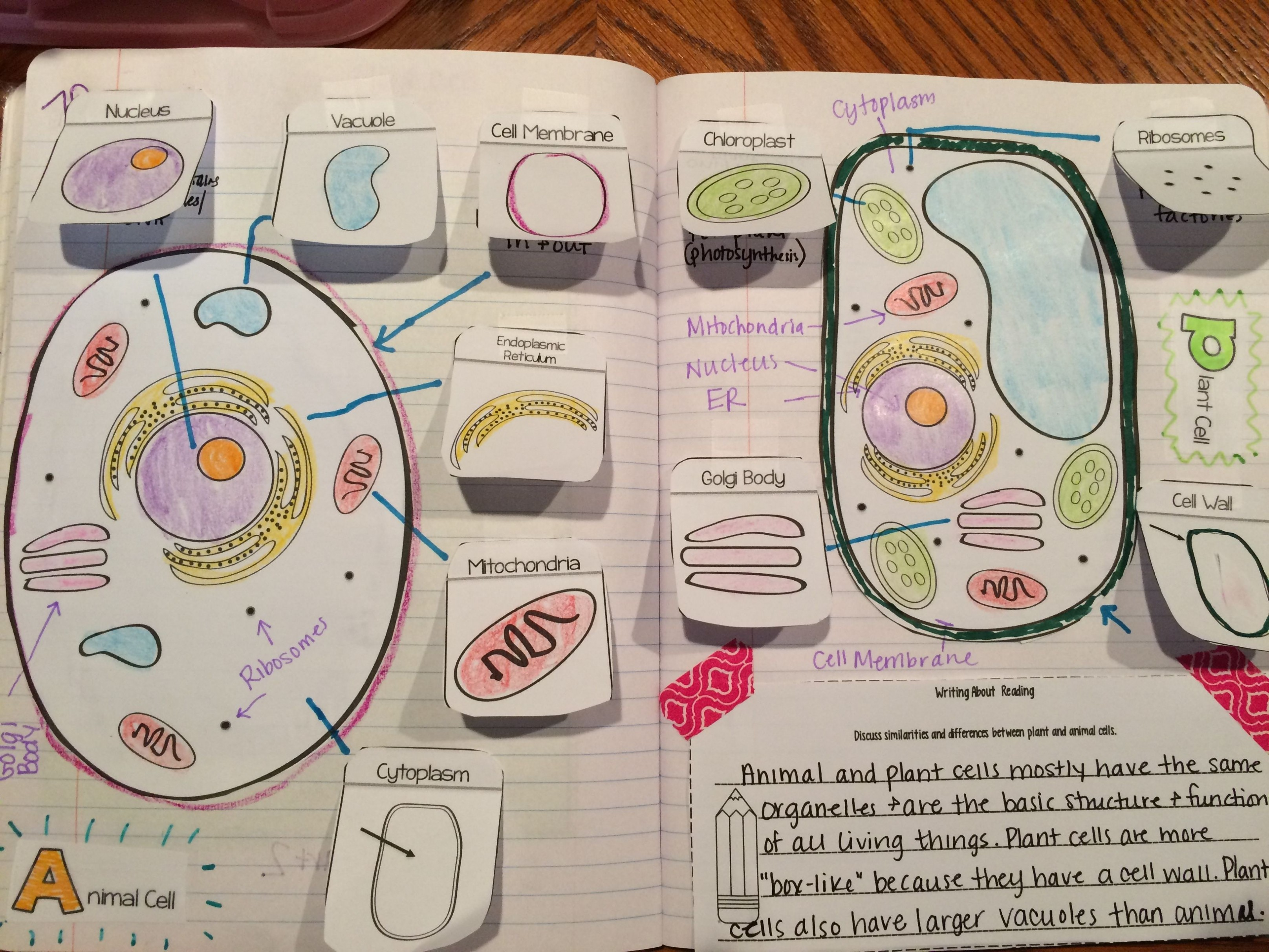 diagram of a cell labeled great labeled cell diagram – animal and plant  cells organelles reading