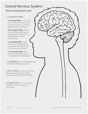 Simple Labelled Diagram Of Ear Cool Brain Sketch Diagram at