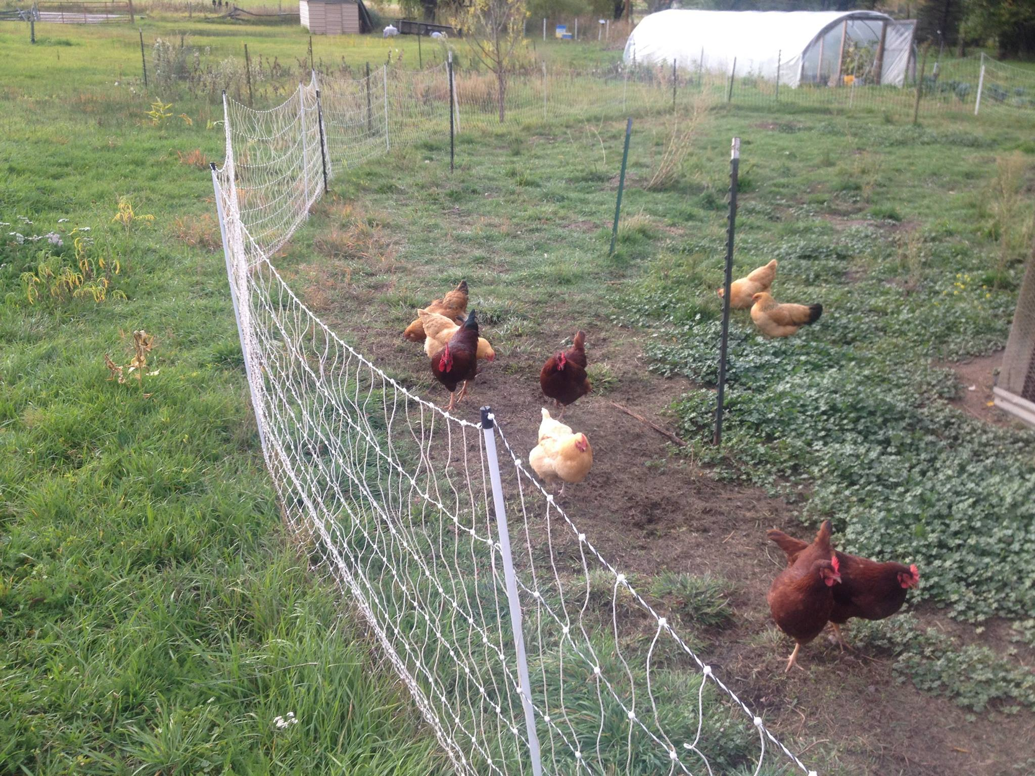 Electric Fencing For Chicken Run • Fences Design